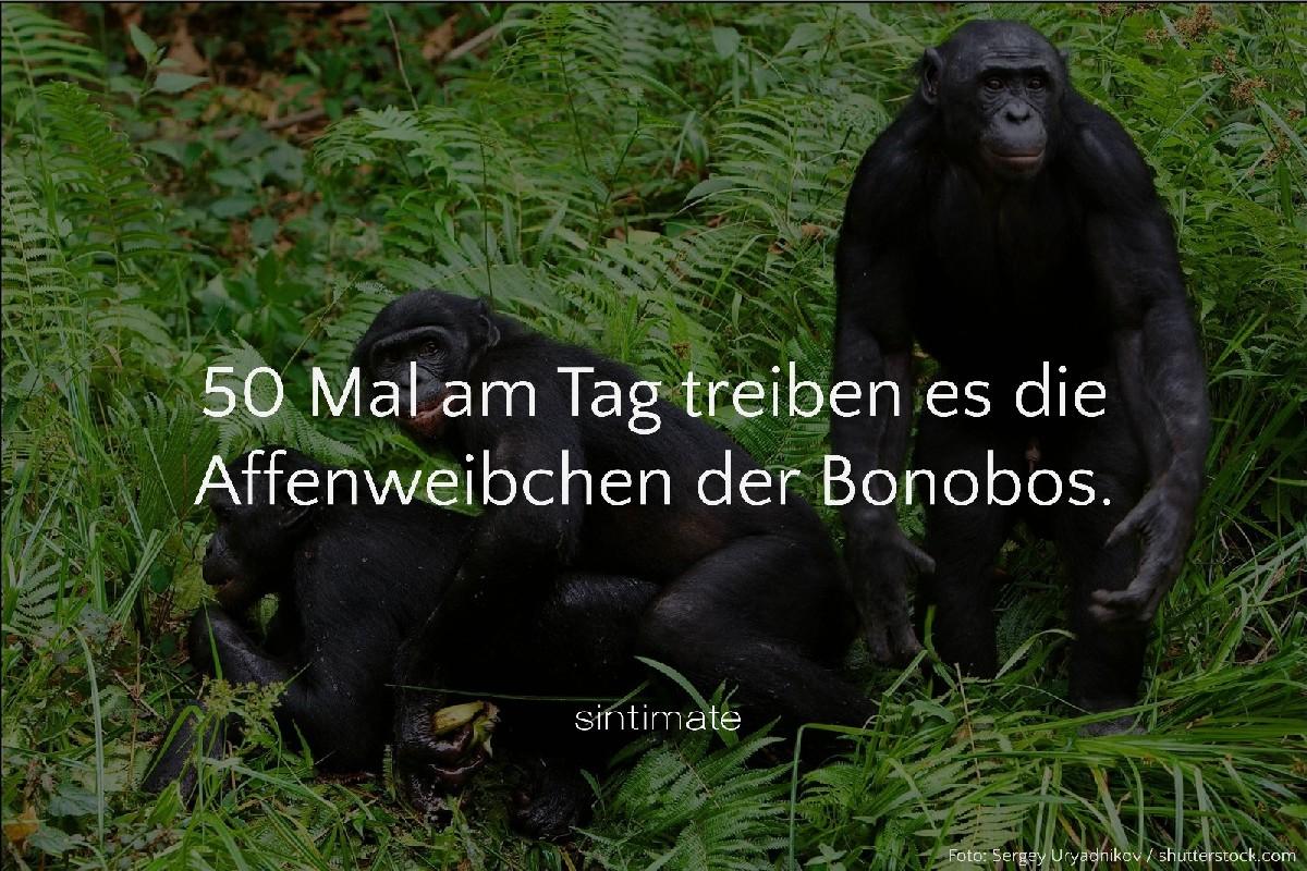 Bonobo Häufigkeit Sex, Bonobo Sex, Sex Fakten