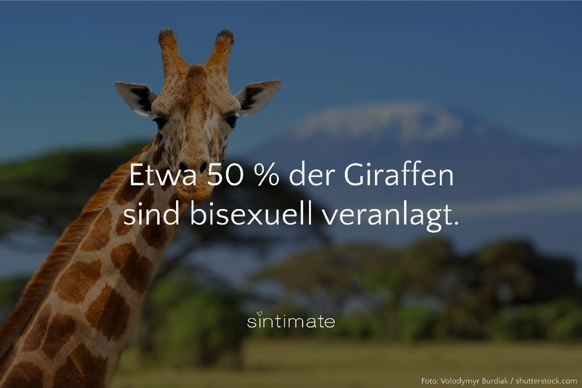 Giraffen bisexuell, Sex Tiere, Sex Fakten, Giraffen Sex